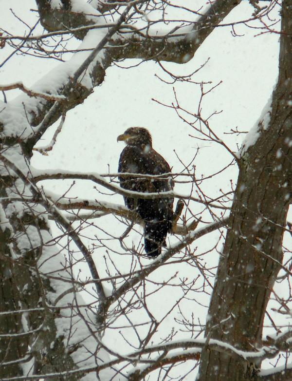 juvenile eagle Carolyn Wronker