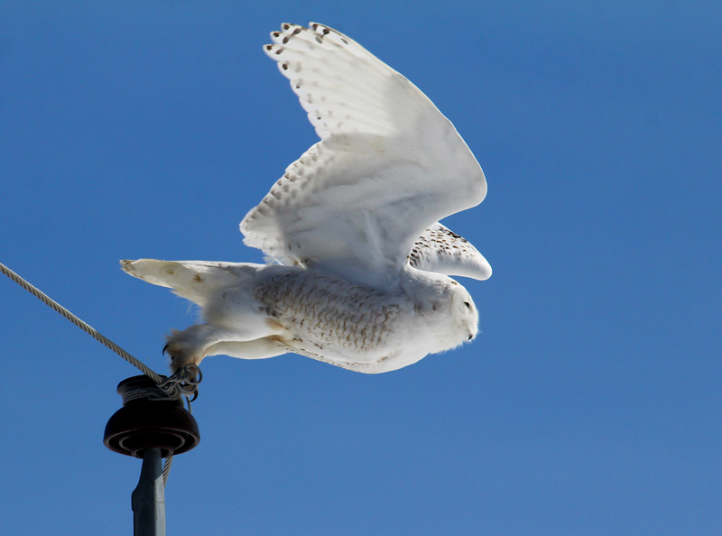 snowy owl David Small