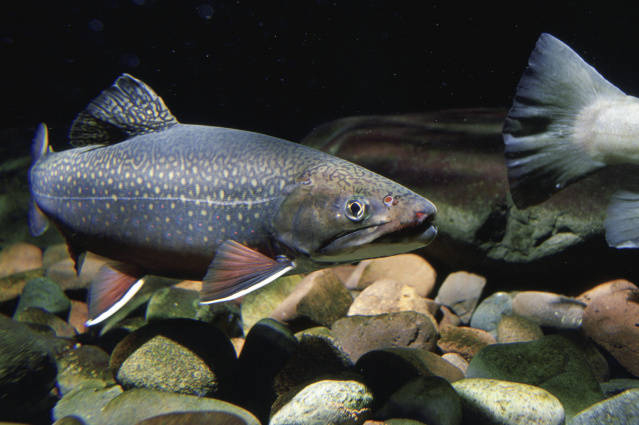 Brook Trout, photo by USFWS