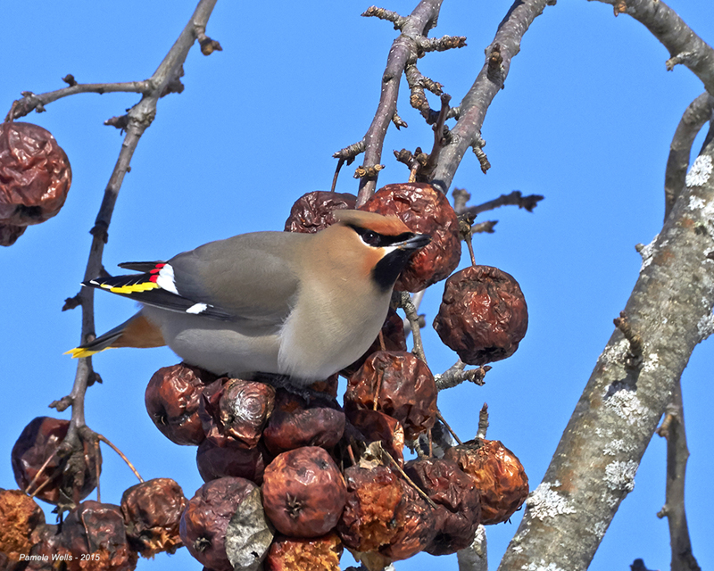 Bohemian Waxwing by Pam Wells