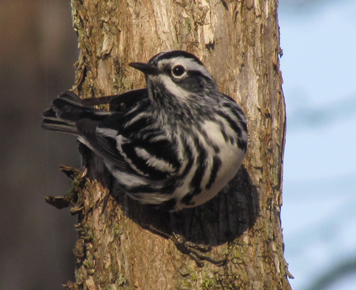 Black and White Warbler in Topsham.