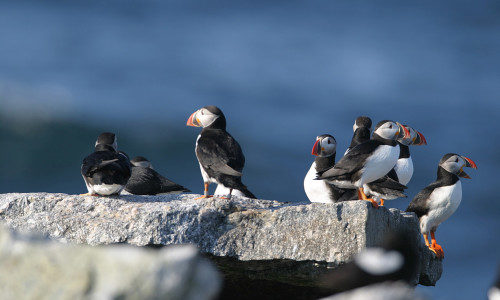 July 21, 2017: Puffin Cruise on Hardy Boat, New Harbor