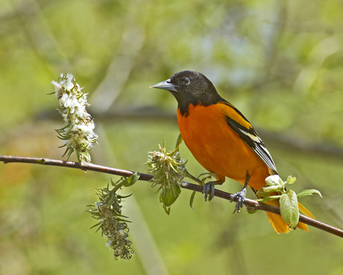 Oriole. Photo by NRCM member Pam Wells.