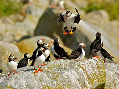 Creature Feature: Atlantic Puffin