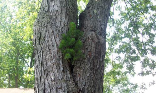Pine tree in maple tree