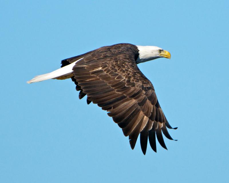 Bald Eagle taken from kayak on Taunton Bay in Hancock