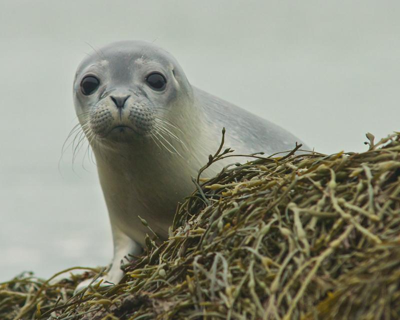 Seals taken from Kayak on Taunton Bay in Hancock (3) Gerard Monteux