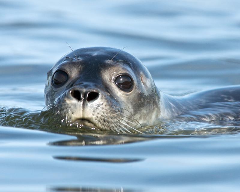 Seals taken from Kayak on Taunton Bay in Hancock (4)