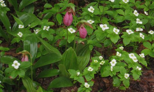 lady slipper trout lily Jewell Childs Hurd