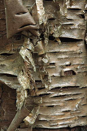 Birch tree close-up, Bald Mountain Public Reserved Land, photo by MissingLynx
