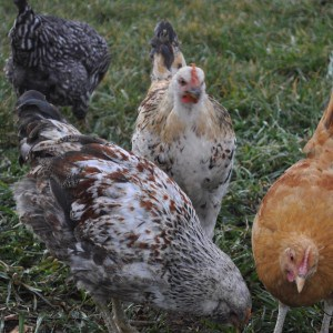 Chickens LOVE food scraps. And you'll love the eggs they produce!
