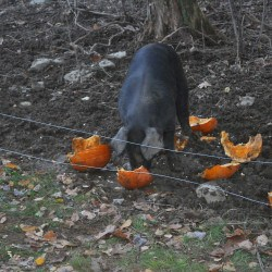 Our pigs eat the pumpkins we didn't sell by Halloween.