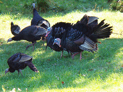 Wild Turkeys in Winthrop, Maine. Photo by Beth Dimond Comeau.