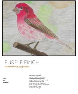Purple Finch species card