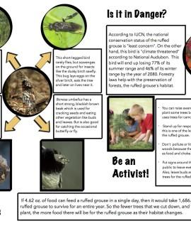 Ruffed Grouse species card