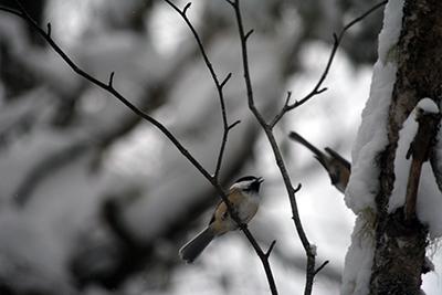 Black-capped Chickadee. Photo by Lindsey Rustad