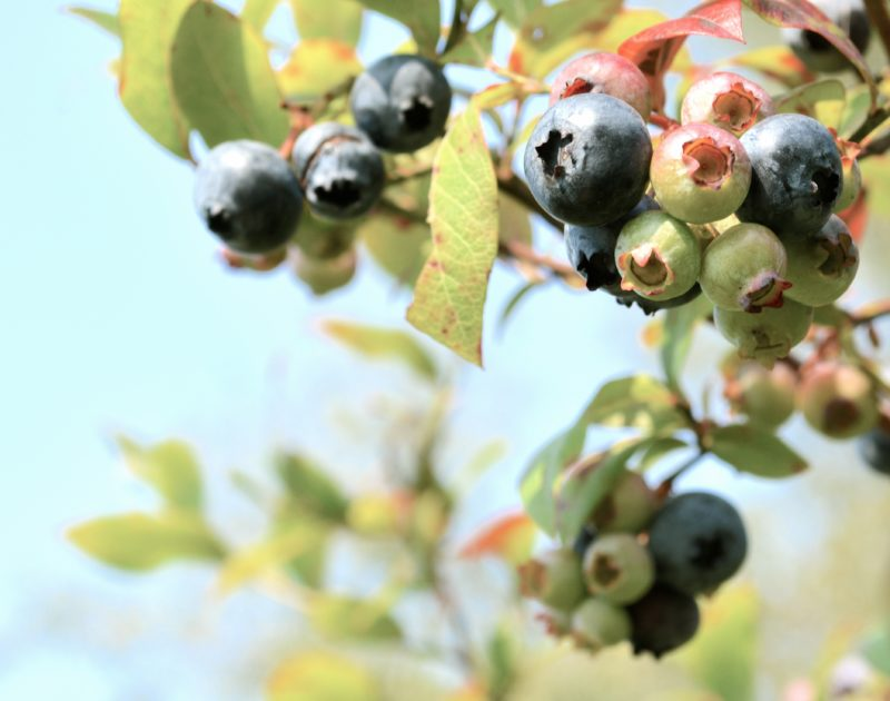 blueberries in Searsport