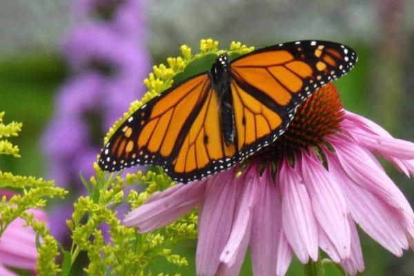 monarch butterfly in Blue Hill