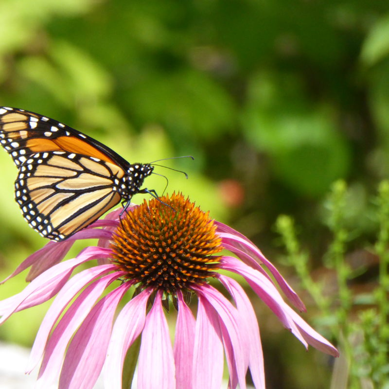 monarch butterfly in Blue Hill