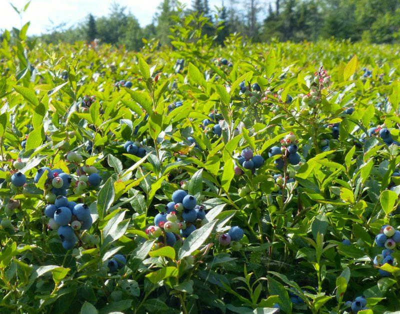 Harrington blueberries by Kathleen Lafferty
