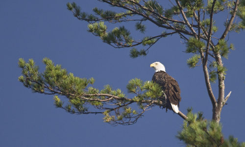 Bald Eagle overlooking Pocasset Lake in Wayne