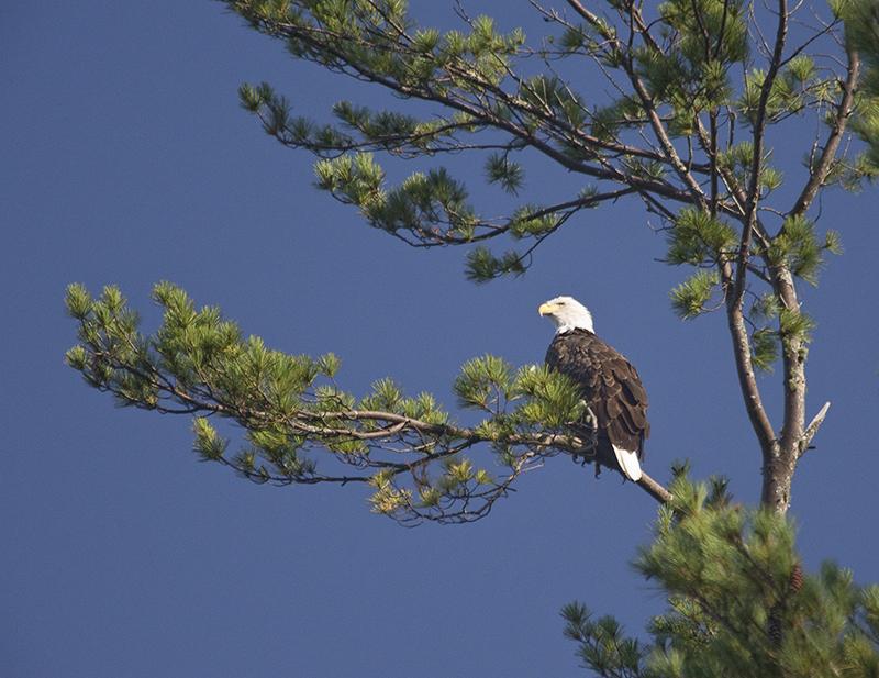 Bald Eagle overlooking Pocasset Lake in Wayne