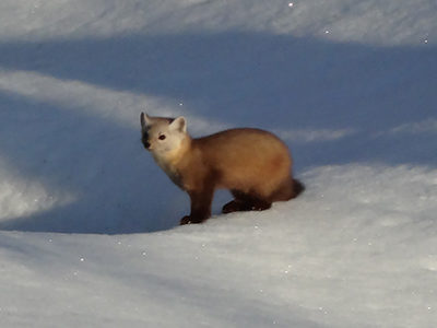 Creature Feature: American Marten