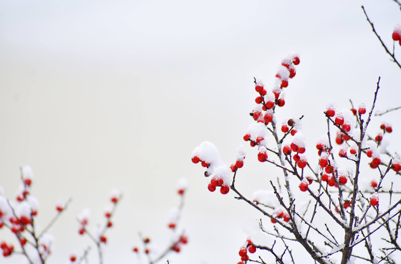 winterberries in snow