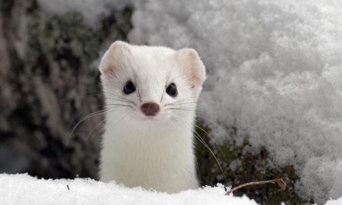 Creature Feature: Ermine
