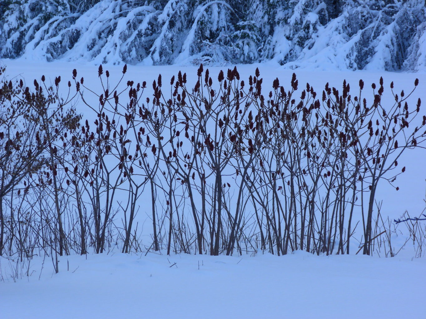 Sumac and Our Winter Meadow NorthFairfield RichardFlanagan