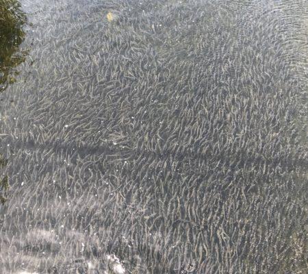 Alewives at Damariscotta fish ladder by Emma Roth-Wells