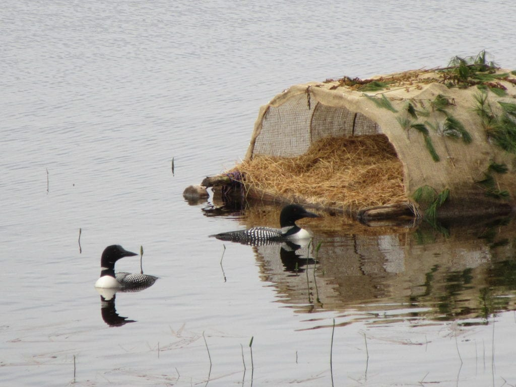 loons on Pattee's Pond in Winslow