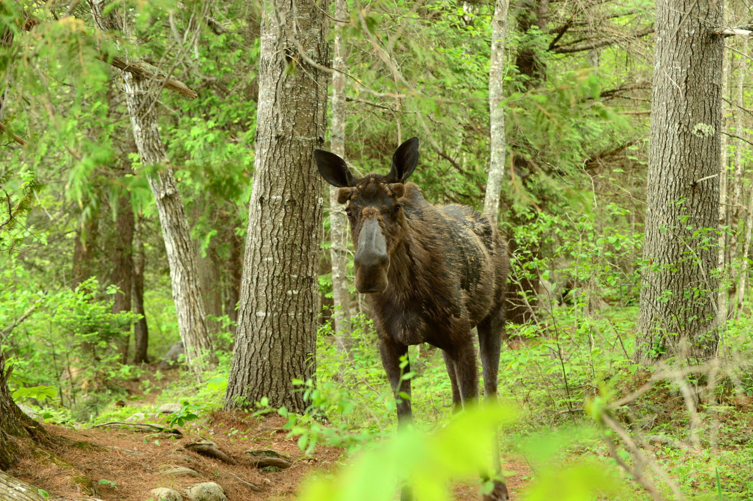 Moose near Baxter State Park by Gerard Monteux