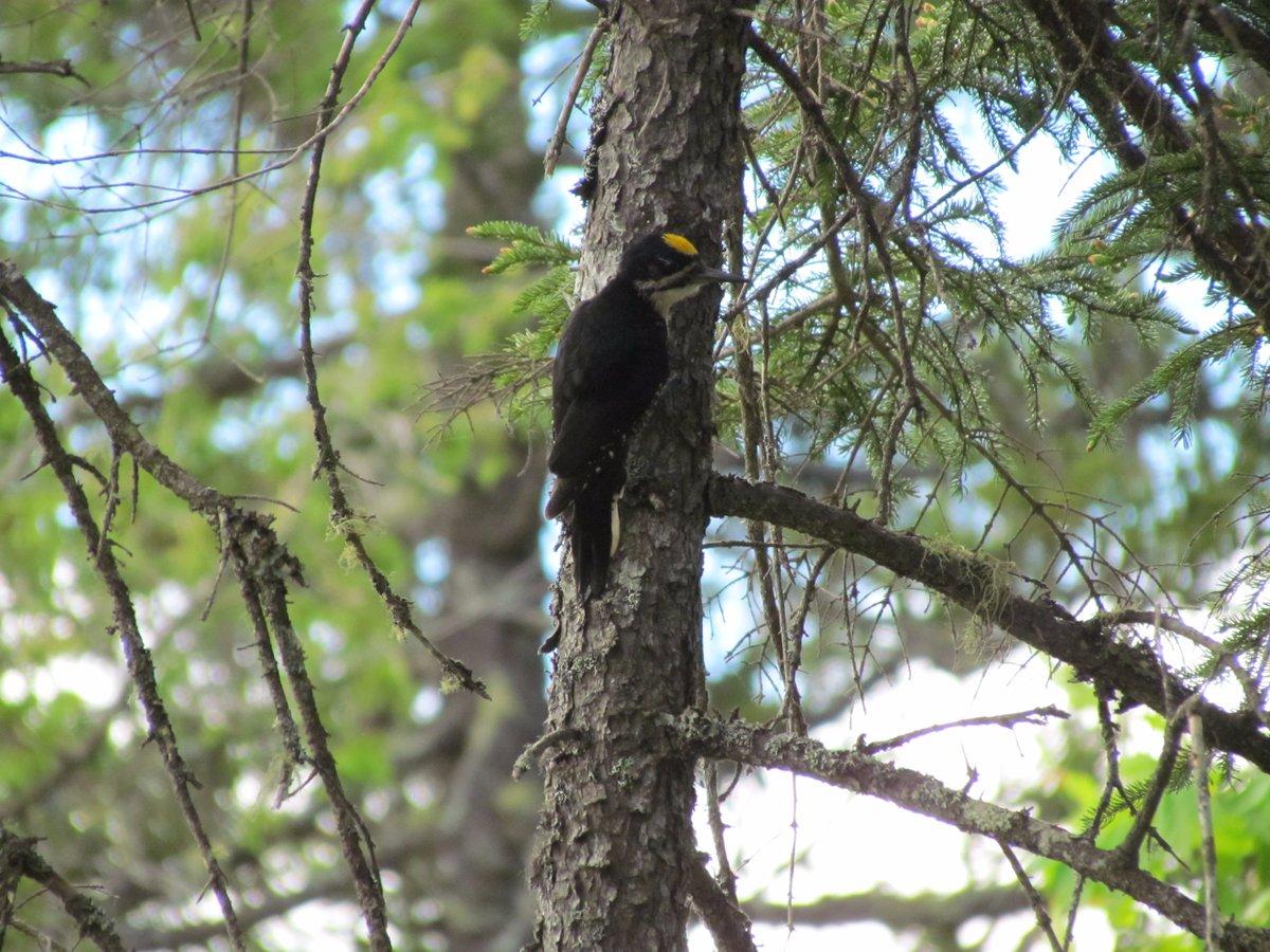 Black-backed Woodpecker, one of Maine's most highly sought bird species and a resident of KWW. (Jeff Wells)