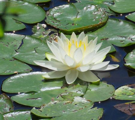 water lily JW