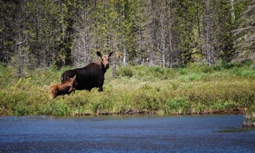 mama moose and baby at KWWNM by NRCM CEO Lisa Pohlmann