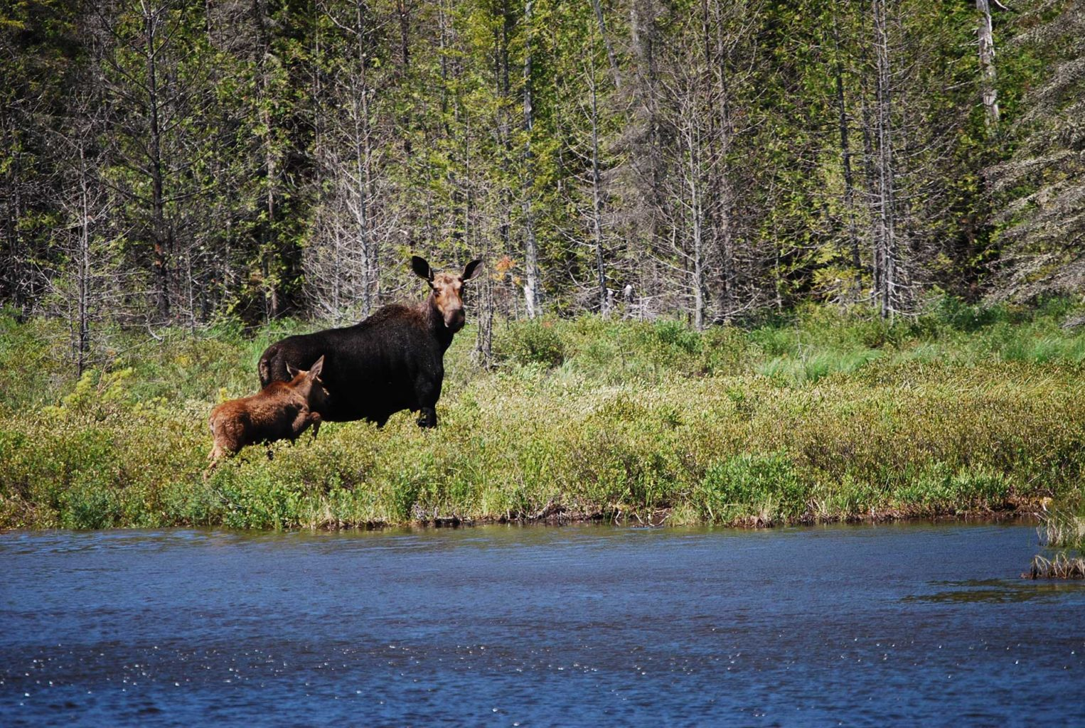 mama moose and baby at KWWNM by Lisa Pohlmann