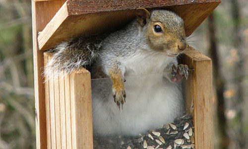 Creature Feature: Gray Squirrel