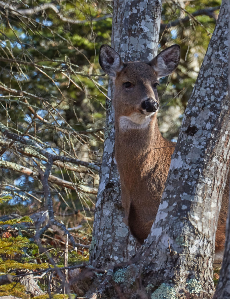 Deer at Acadia - photo by Pam Wells