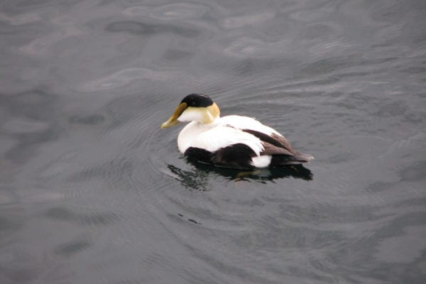 Common Eider by Jeff Wells