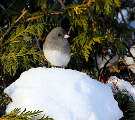 DARK-EYED JUNCO BACK YARD_0014-1
