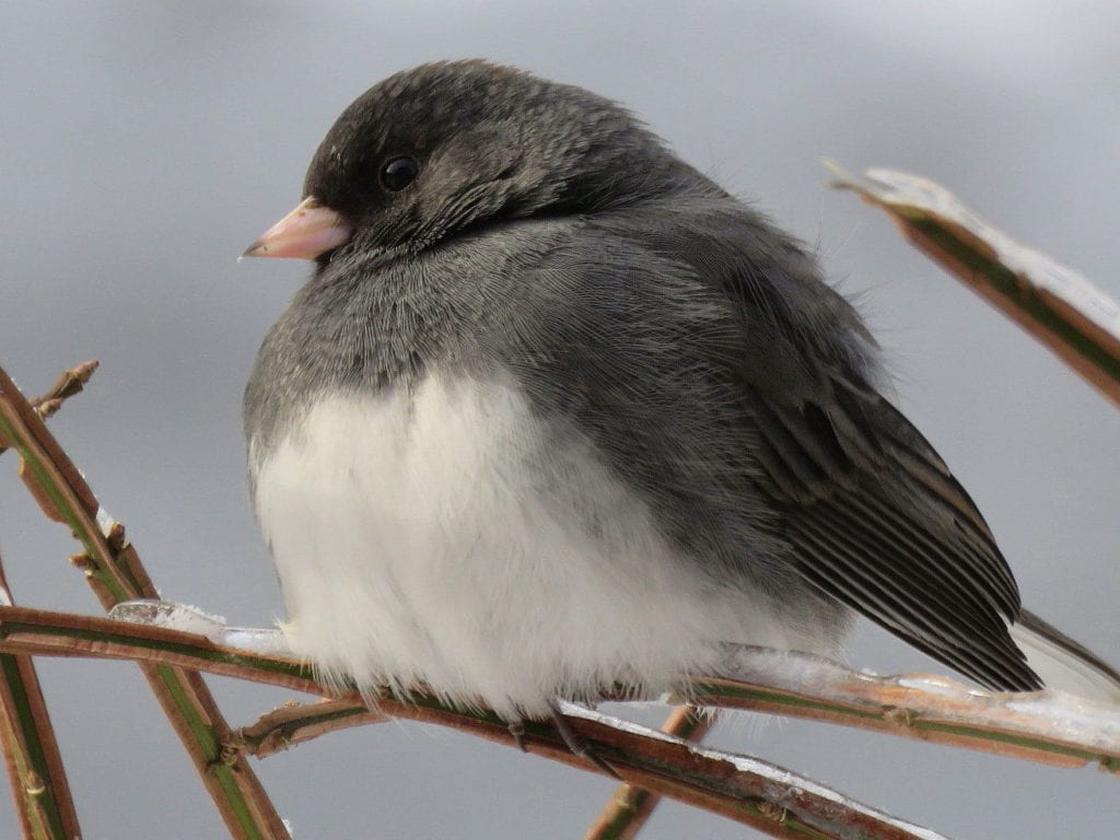 Dark-eyed Junco in South China
