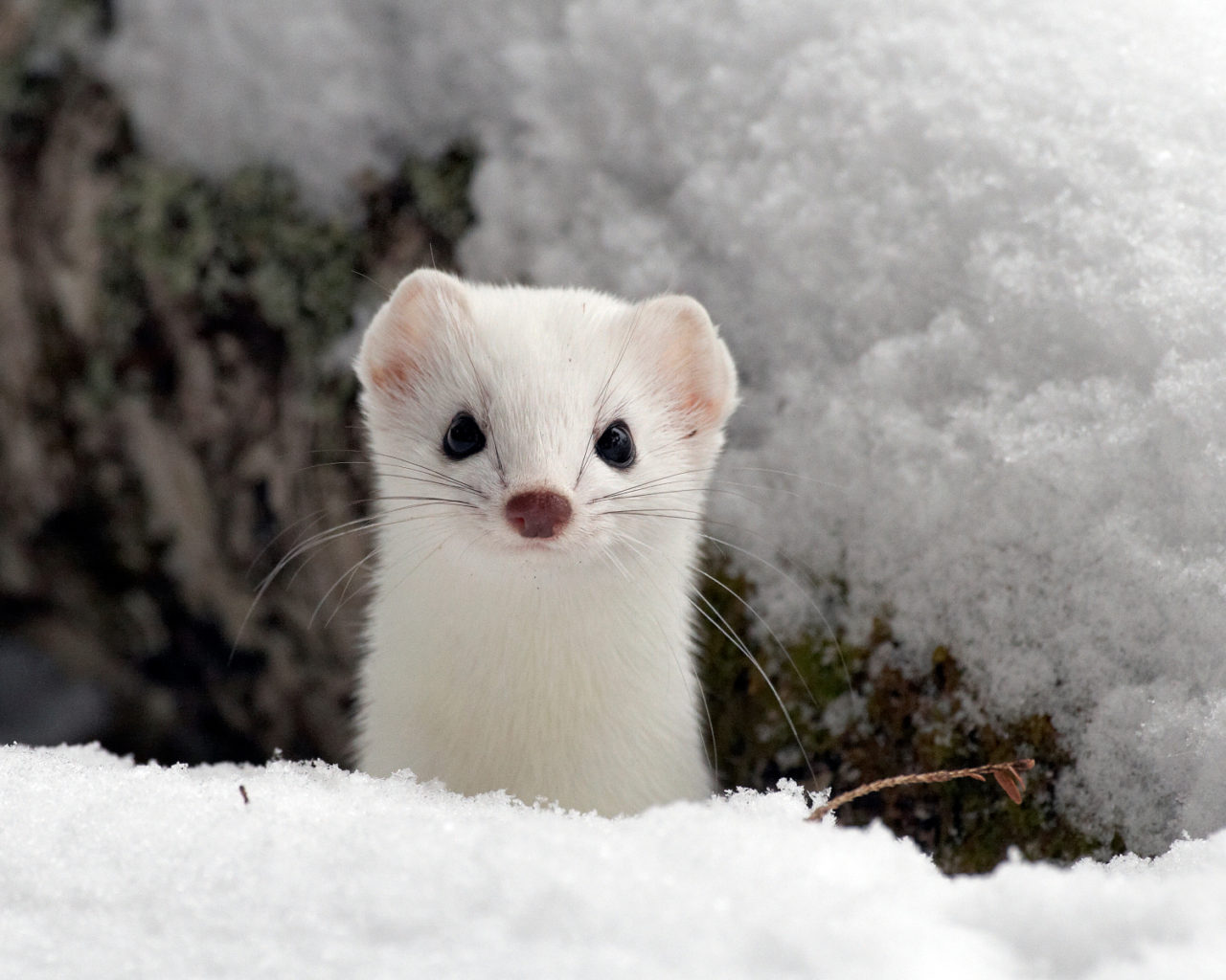 ermine in winter