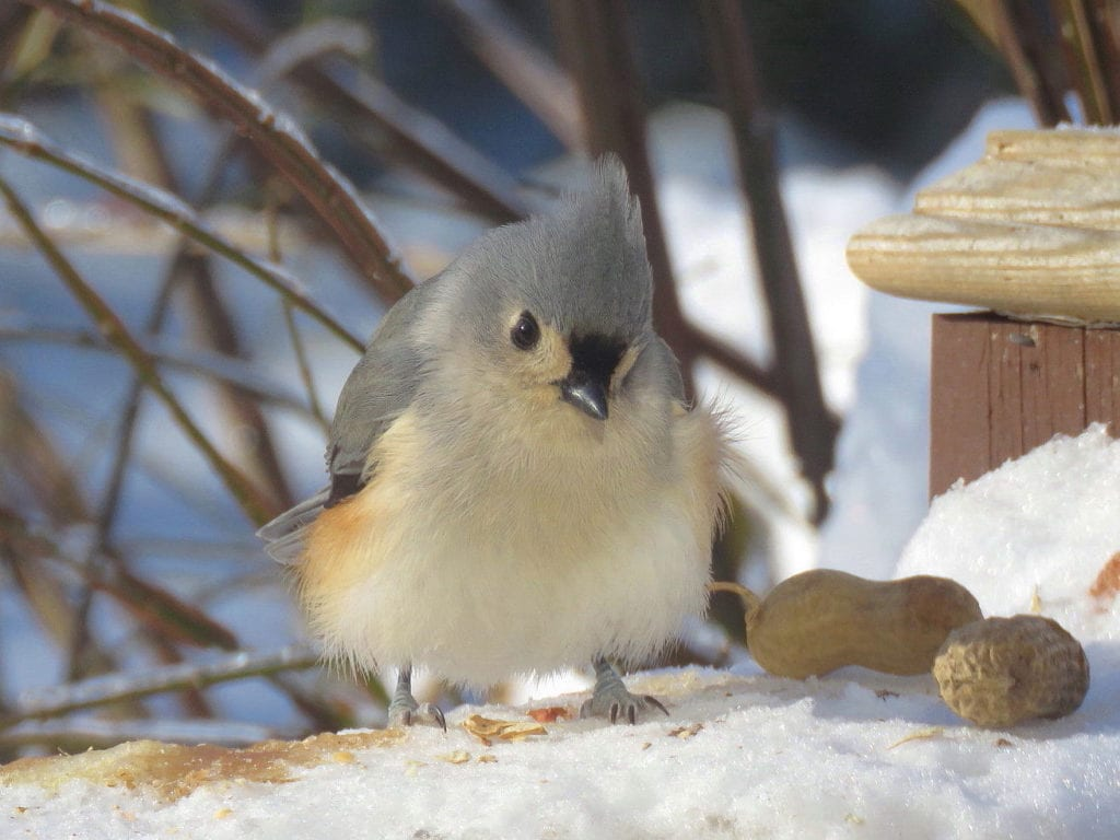 Tufted Titmouse in South China