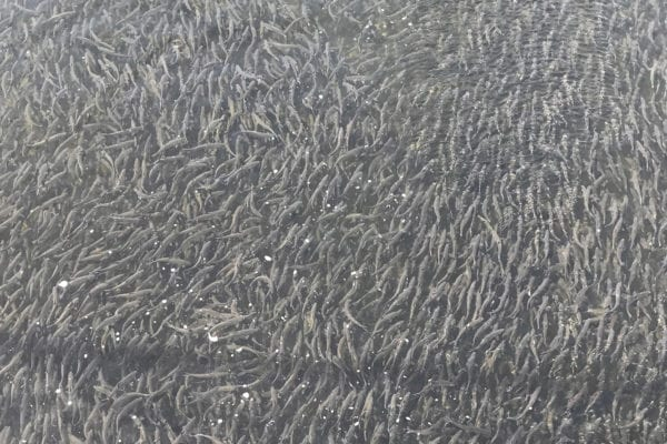 alewives in Maine rivers