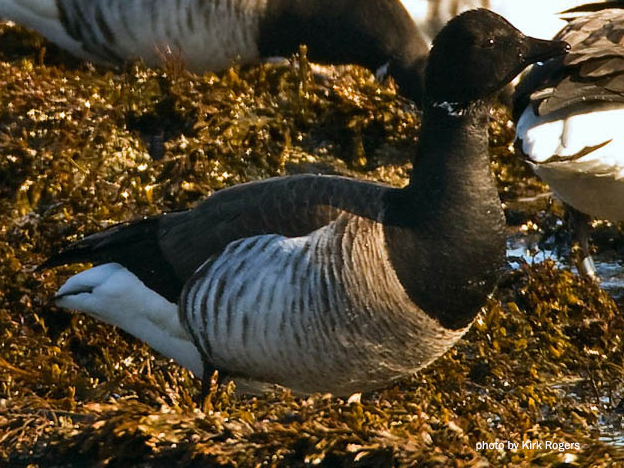 The Littlest Goose | Natural Resources Council of Maine