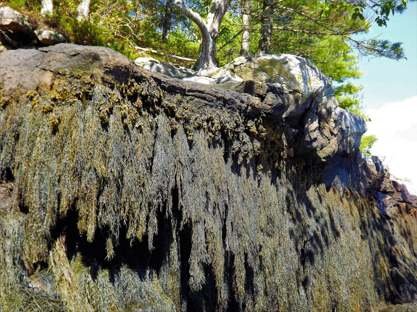 Kayaking by a seaweed cliff in Georgetown Maine