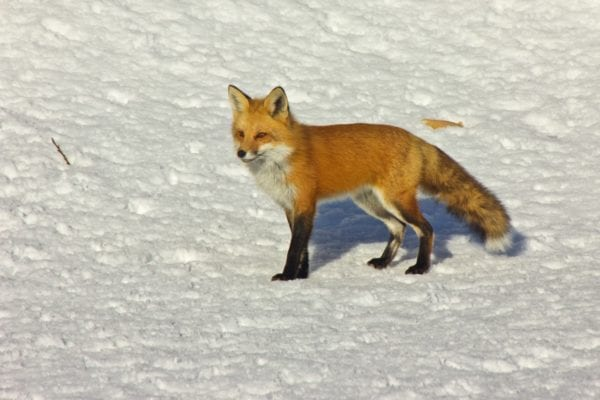 Fox in Gardiner by Mary Gilbert