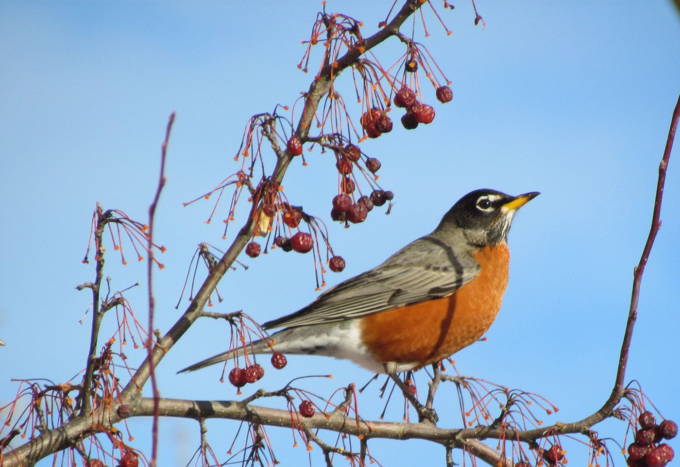 American Robin. Jeff Wells photo