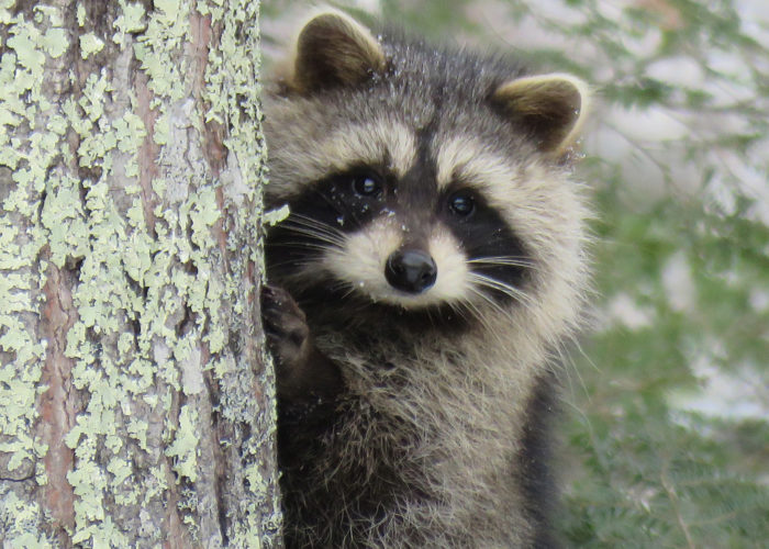 Raccoon, photo by Jayne Winters